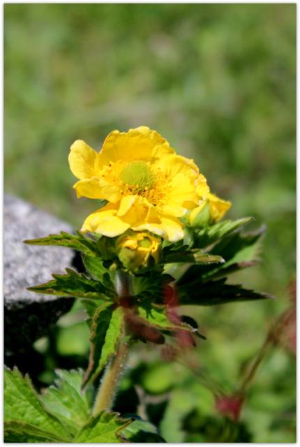 青森県 尻屋崎 海岸 岩場の花 海岸の花 キンポウゲ