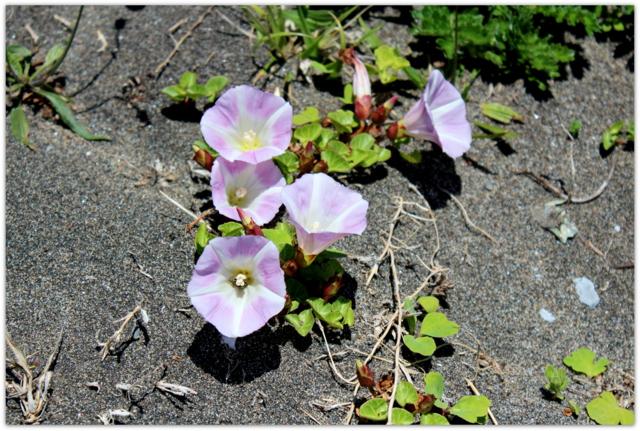 青森県 尻屋崎 海岸 岩場の花 海岸の花 ハマヒルガオ