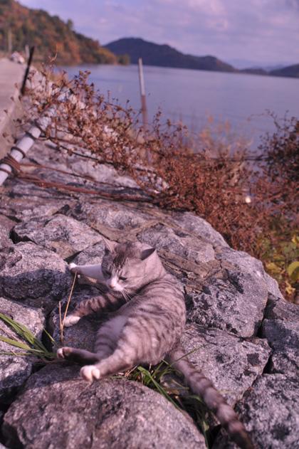 石積上サバ白猫。