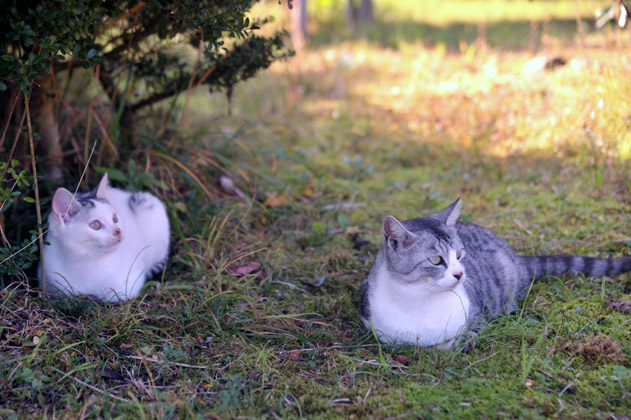 注目サバ白猫x2。