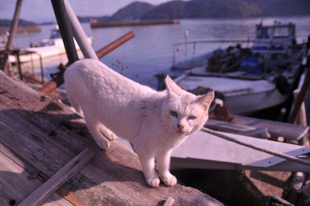 沿岸白猫。