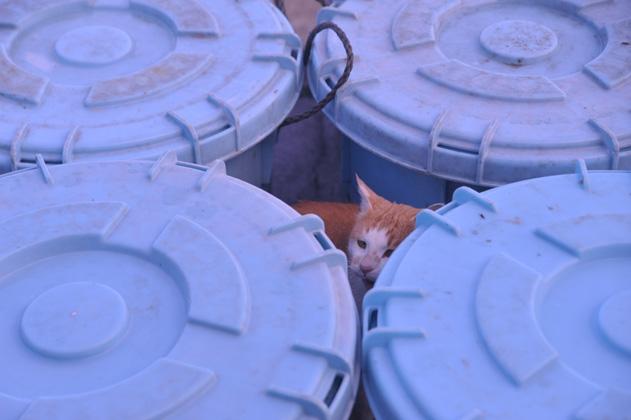 漁港内茶白猫。