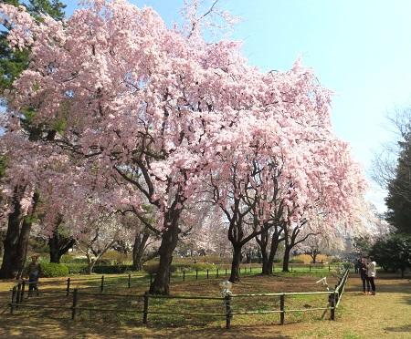 041敷島公園のしだれ桜