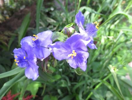 001紫つゆ草