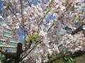 壱智村/ビル桜