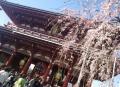 壱村/寺桜