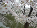 壱智村/池桜