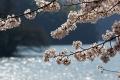 西垣/津久井の桜2