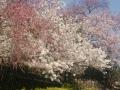 浅井/三色桜