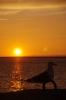 カモメと夕日