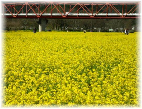 二千十五菜の花