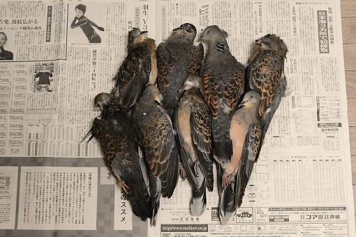 鳩ハチワ20150211