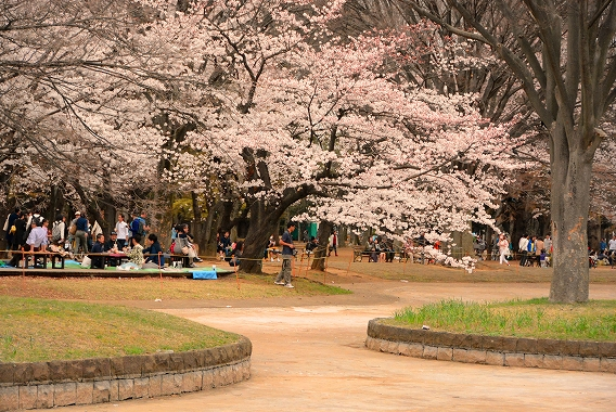代々木の桜20150330