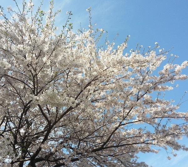150409_学校桜