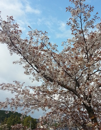 150411_雪野桜