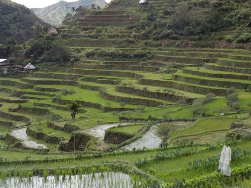 Rice Teras 500