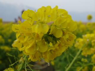 なぎさ公園の菜の花
