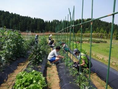 トマトの分け芽も取りしっかりと支柱に