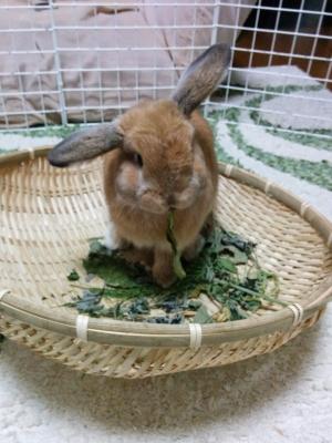 2-1_野草を食べるウサギ
