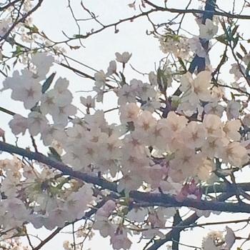 白鳥桜 (350x350)
