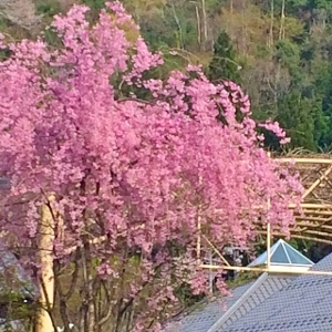 八重桜 (300x300)