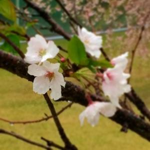 桜金沢 (300x300)