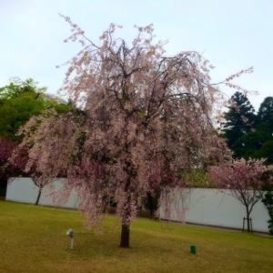 桜金沢2 (300x300)