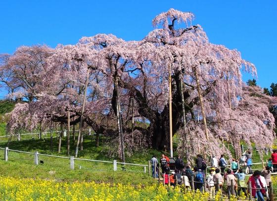 中通り三春町滝桜20150415_2 (560x406)