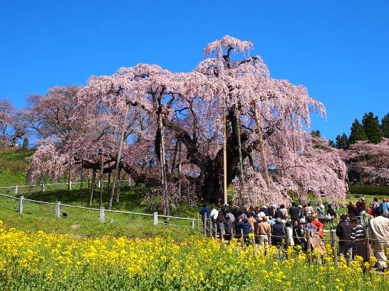 中通り三春町滝桜20150415_3 (560x420)