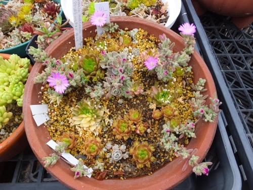 ドロサンセマム・花宝生~淡ピンク花、斑入り爪レンゲなどなど寄せ植え♪2015.05.01