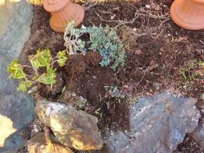 防寒対策下にもかかわらず霜で痛んだ地植えの金の成る木(斑入り種とゴーラム)、掘りあげて室内に避難します。2014.12.19