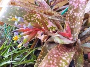 ビルベルギア ポキートブランコ( Billbergia 'Poquito Blanco')室内で真冬に開花中\(^o^)/2015.01.04