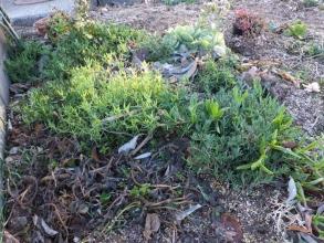 地植えの多肉~手前:プレクトランサス・ネオチラス(黒く萎びて葉がダメです)、カルボスローツス(ピンク花)こん棒状葉~凍らず生きています♪、ポーチュラカリア・銀杏木~何とか生きています♪2014.12.27