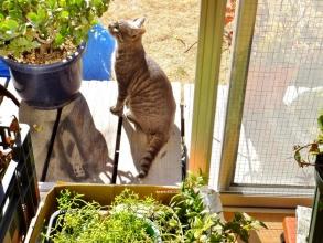 家の庭で勝手に遊ぶ~近所のノラ猫のロシちゃん♪初めて遭遇しても縁側に上ってくる人懐こちゃんです\(~o~)/2015.01.19