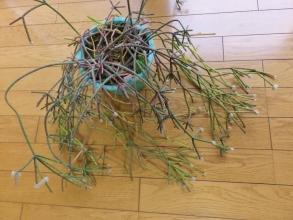 リプサリス ピロカルパ(Rhipsalis pilocarpa)~和名:朝の霜・天竜下り・髭赤葦、晩秋から初冬に花芽が出来上がってきます♪2014.12.16