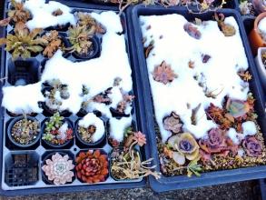 雪解け間近の多肉バッド~2015.01.03