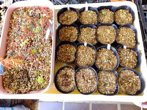 セダム・カウルレアの実生苗~左:屋外育ち。右:鉢上げ植え替えした実生苗2015.01.20