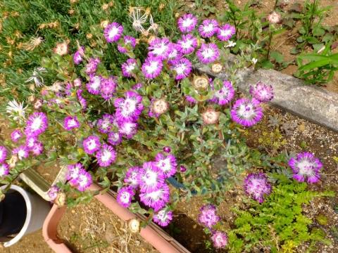 ケンシチア・千歳菊(kensitia pillansii)地植えにしたら満開です♪2015.06.01