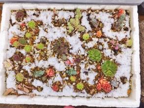 雪を被ったセンペル、セダムなどの寄せ植え♪2015.02.09