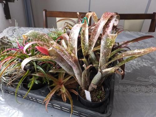 ■ビルベルギア ポキートブランコ( Billbergia 'Poquito Blanco')11月末に室内に取り込んでいたら花芽が上がってきました\(^o^)/まだらなアナナス♪2014.12.21