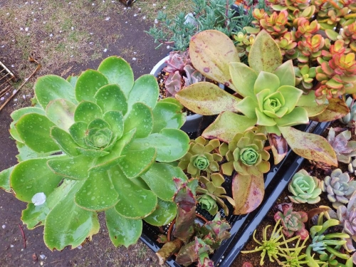 かなり大きくなってる左:アエオニウム・君美麗(Aeonium aff. holochrysum )右:鏡獅子(Aeonium nobile )2015.04.11