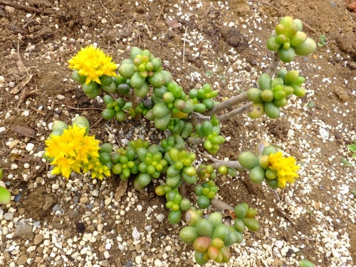 セダム 緑亀の卵 (Sedum hernandezii ) ~地植えにしておいたら開花していました♪2015.05.13