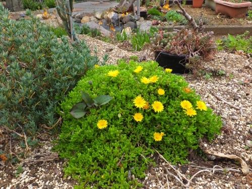 デロスペルマ・ヌビゲナム♪こんもり茂り咲き始めました♪2015.04.30