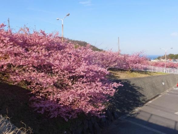 近所のホムセンの駐車場は河津桜が満開です♪右奥に見えるのは海~♪2015.03.06