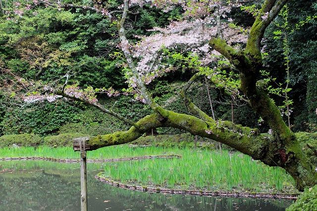 ⑪散り初め桜2
