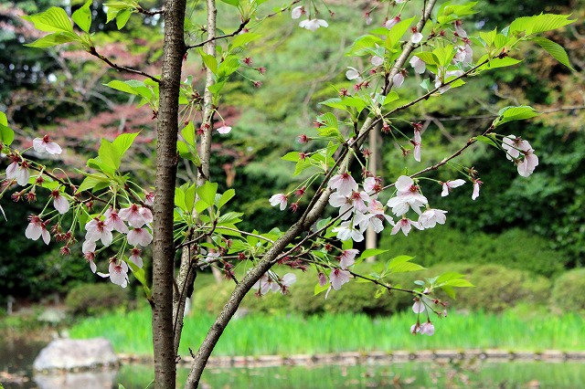 ⑩散り初め桜