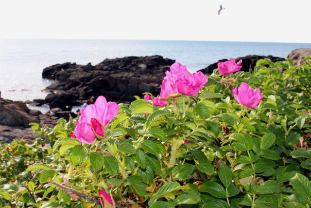 ㉒留萌の海岸はまなす (640x427)