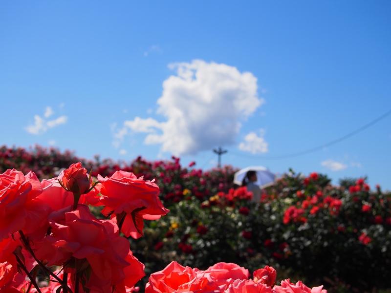 坂城薔薇5