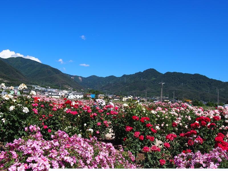 坂城薔薇3