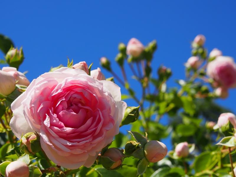 坂城薔薇1